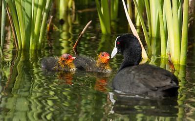 Eurasian Coot feeding chicks