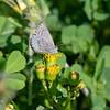 Common Blue Butterfly - Zizina labradus