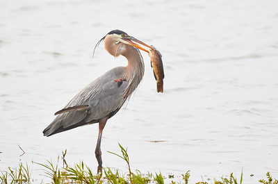 GBH with Mudcat on very foggy morning
