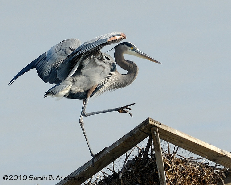 Great Blue Heron landing on Osprey nest platform<br /> <br /> <br /> Blackwater NWR<br /> Dorchester County, Maryland<br /> December 2010
