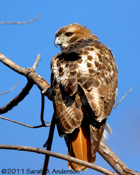 Red-tailed hawk, not shy at all<br /> <br /> Fairfax County, Virginia<br /> February 2011