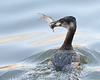 Red-necked grebe with catch with hook