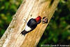 Red-headed woodpecker baby is READY<br /> <br /> Hughes Hollow, Montgomery County, Maryland<br /> July 2009