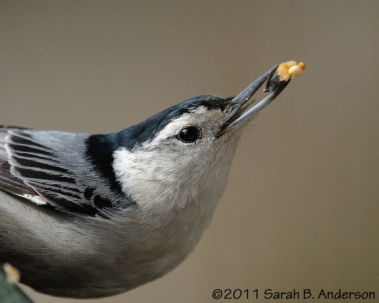 (crop of) White-breasted nuthatch with suet feeder prize<br /> <br /> Montgomery County, Maryland<br /> March 2011