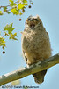 Great-horned owlet yawn<br /> <br /> Prince William County, Virginia<br /> April 2010