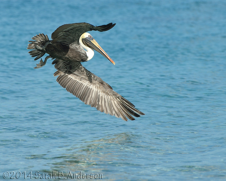 Brown Pelican going in for a meal<br /> St. John, USVI<br /> April 2014