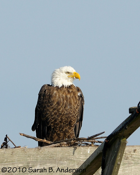 Bald Eagle on man-made perch<br /> <br /> Blackwater NWR<br /> Dorchester County, Maryland<br /> December 2010