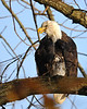 Early morning Bald Eagle<br /> Conowingo Dam, Maryland<br /> <br /> November 2011