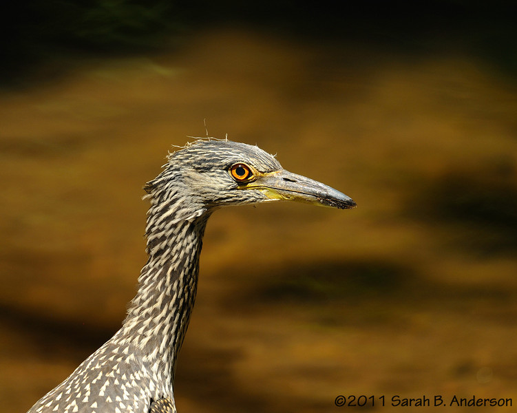 Recently fledged Yellow-crowned Night Heron<br /> with Sligo Creek background<br /> Montgomery County, Maryland<br /> July 2011