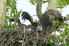 FISH IN THE NEST!!!!<br /> Even though it was farther away, the eaglet on the right (the older one), ended up with the fish.<br /> <br /> Montgomery County, Maryland<br /> June 2009