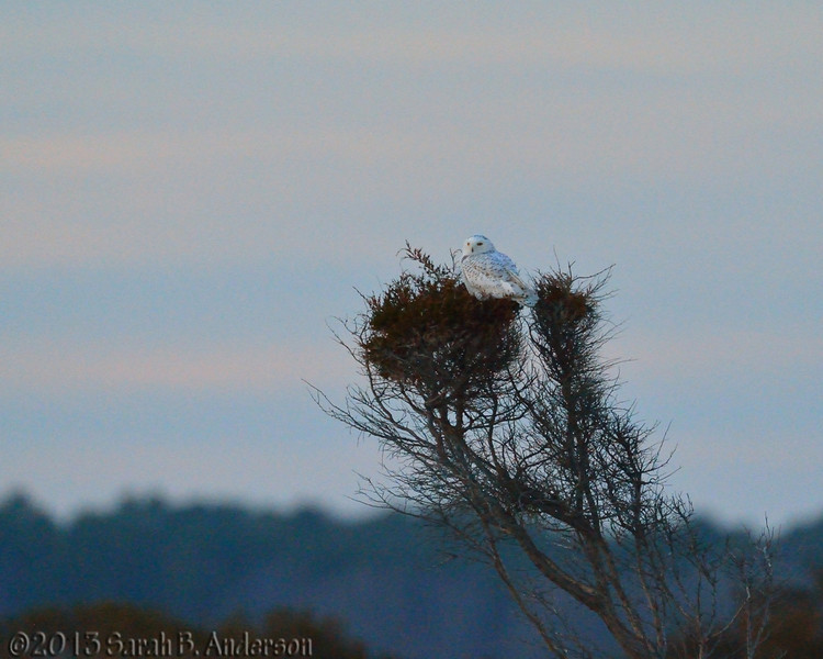 Snowy Owl on the hunt