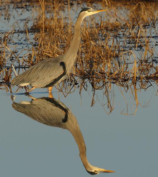 Mirrored Heron<br /> Blackwater NWR, Maryland<br /> <br /> December 2011