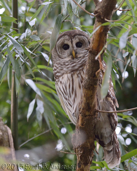 Barred Owl<br /> Montgomery County, MD<br /> December 2013