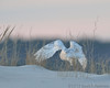 Snowy Owl takes off at dusk