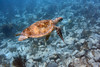 Green Turtle on Easter Sunday<br /> Salt Pond Bay<br /> St. John, USVI<br /> April 2014