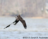 Osprey with heavy load of nesting material (seaweed)<br /> <br /> Occoquan NWR, Virginia<br /> April 2011