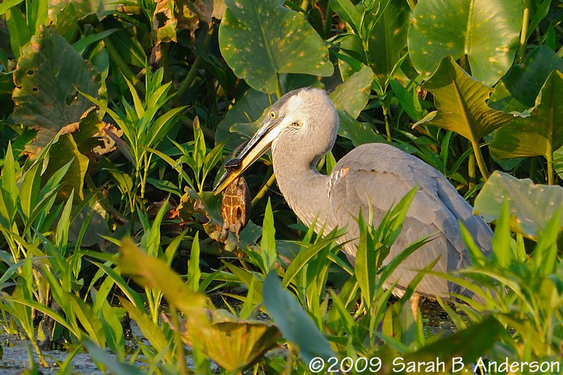 Great Blue Heron and a most unfortunate turtle <br /> <br /> Hughes Hollow<br /> Montgomery County, Maryland<br /> July 2009