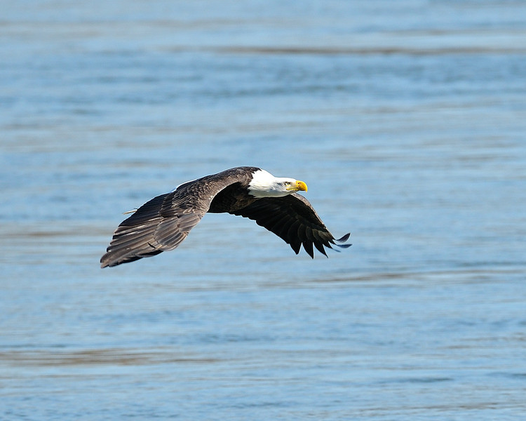 Bald Eagle over water<br /> Conowingo Dam, Maryland<br /> <br /> November 2011
