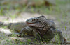 Iguana portrait<br /> St. John, USVI<br /> April 2014