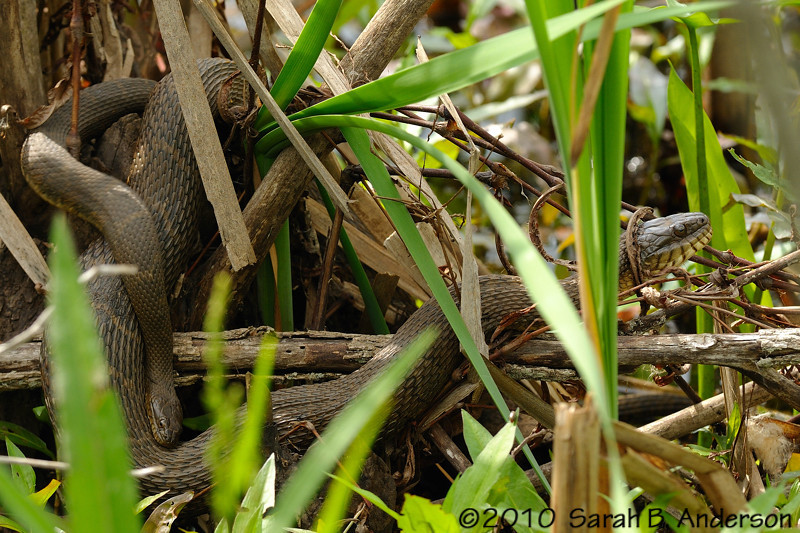 Northern water snakes<br /> (making more water snakes)<br /> <br /> Montgomery County, Maryland<br /> April 2010