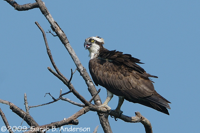 Osprey near its nest<br /> <br /> Occoquan National Wildlife Refuge<br /> Woodbridge, Virginia<br /> July 2009
