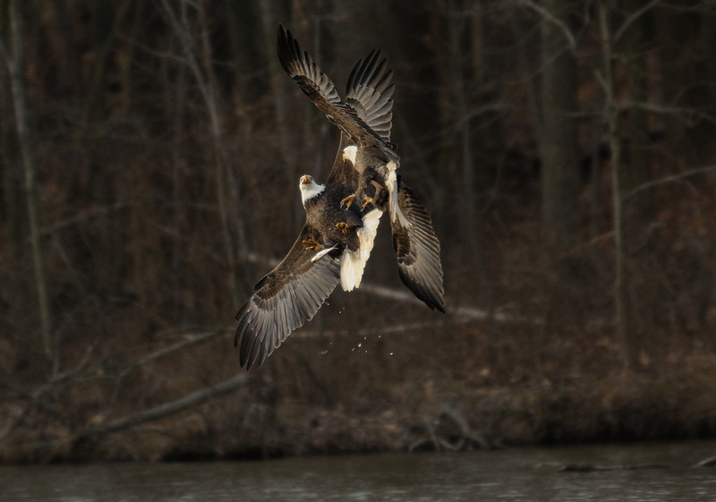 Agh!<br /> (I'd drop the fish too if I saw those talons heading for my belly)<br /> <br /> Fairfax County, Virginia<br /> January 2012