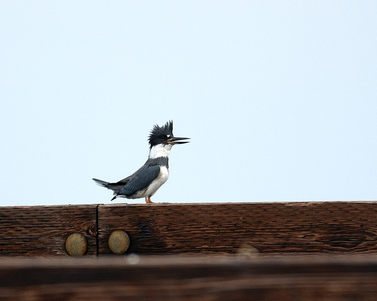 Belted Kingfisher <br /> Shorters Wharf Rd, Maryland<br /> <br /> December 2011