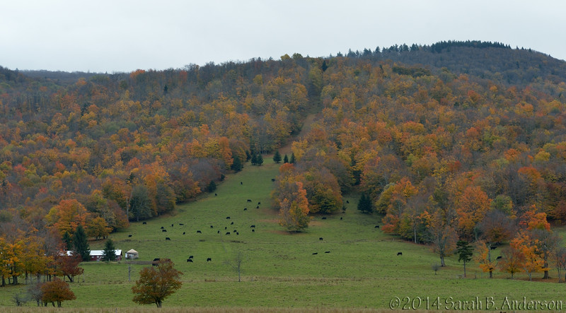 Whitegrass in autumn colors, with cows<br /> Tucker County, WV<br /> October 2014