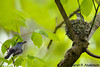 Nest building<br /> Blue-gray gnatcatchers<br /> <br /> Montgomery County, Maryland<br /> April 2010