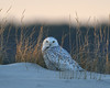 Snowy Owl with dune and beach grass