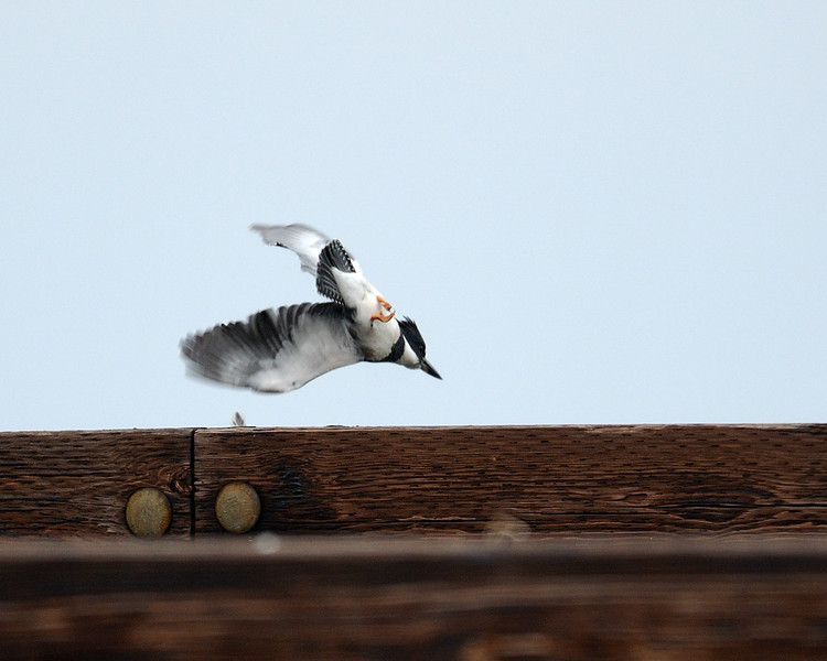 Belted Kingfisher takes off<br /> Shorters Wharf Rd, Maryland<br /> <br /> December 2011
