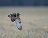 Short-eared owl, coursing