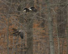 Juvie eagle still looking discombobulated.  Adult still tracking the fish.<br /> <br /> Fairfax County, Virginia<br /> January 2012