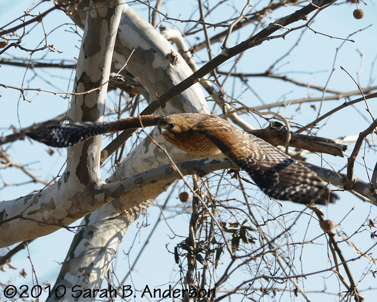 Red-shouldered hawk takes off<br /> <br /> Pohick Bay Regional Park<br /> Fairfax County, Virginia<br /> December 2010