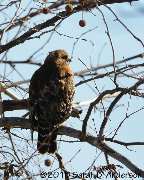Red-shouldered hawk<br /> <br /> Pohick Bay Regional Park<br /> Fairfax County, Virginia<br /> December 2010