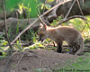 Fox kit - look how fuzzy!<br /> <br /> C&O Canal<br /> Montgomery County, Maryland<br /> May 2011