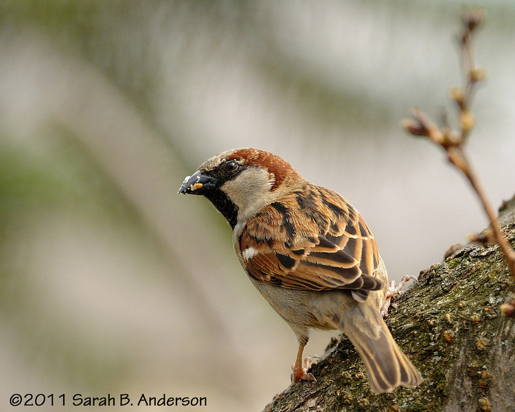 House sparrow (male) <br /> with suet remnants on his beak<br /> <br /> Montgomery County, Maryland<br /> March 2011