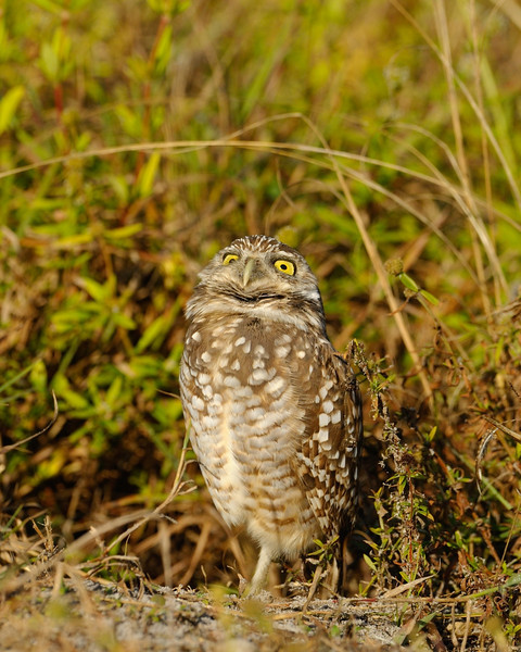 Burrowing Owl, worrying owl<br /> <br /> Cape Coral, Florida<br /> December 2012