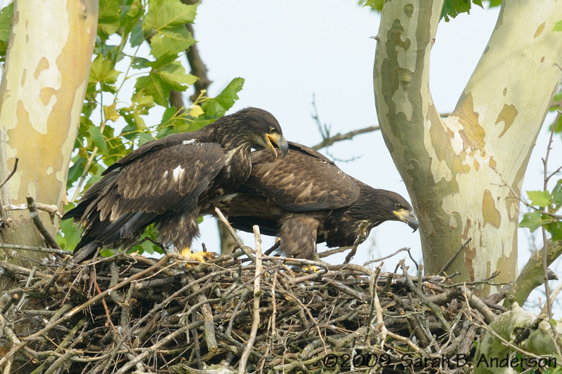 Bald Eagle siblings<br /> <br /> Montgomery County, Maryland<br /> June 2009