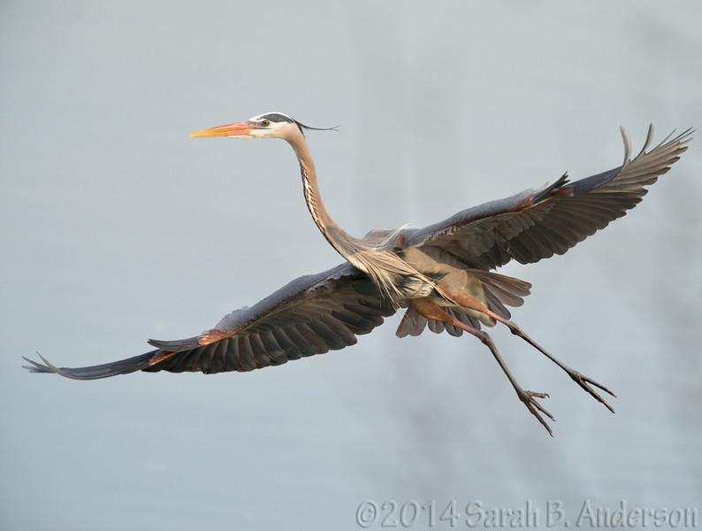 Great Blue Heron, floating