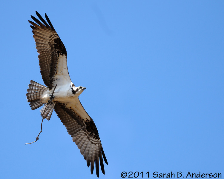 Osprey with nesting material<br /> <br /> Occoquan NWR, Virginia<br /> April 2011