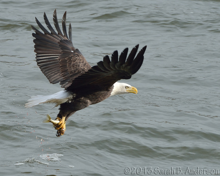 Bald Eagle fish grab<br /> Harford County, MD<br /> November 2013
