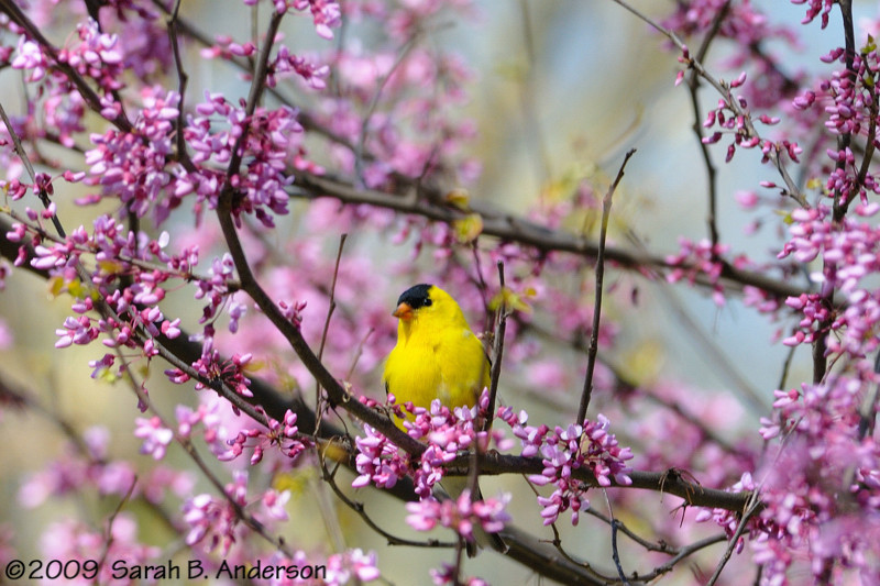 Goldfinch & blooming Redbud<br /> West Oshtemo, Kalamazoo County, Michigan<br /> May 2009
