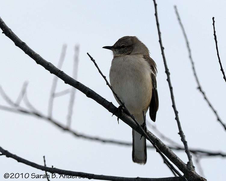 Northern Mockingbird<br /> <br /> <br /> Blackwater NWR<br /> Dorchester County, Maryland<br /> December 2010