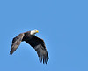 Bald Eagle and the clear blue sky<br /> Conowingo Dam, Maryland<br /> <br /> November 2011