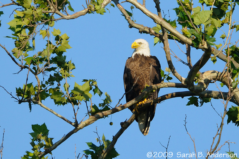 Bald Eagle (the female)<br /> taken with the Nikon 1.4 teleconverter<br /> <br /> Montgomery County, Maryland<br /> June 2009