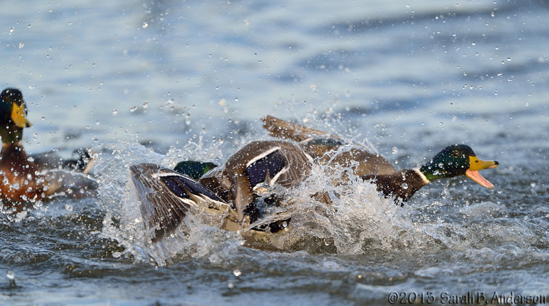 Duck fight (1st photo in series)<br /> Cambridge, Dorchester County, MD<br /> December 2013