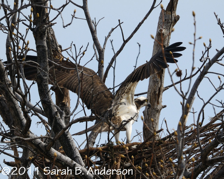 Osprey, landed<br /> <br /> Occoquan NWR<br /> Woodbridge, VA<br /> March 2011