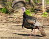 Wild Turkey in early spring<br /> <br /> Kalamazoo County, Michigan<br /> April 2011