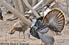 male Wild Turkey<br /> <br /> West Oshtemo, Kalamazoo County, Michigan<br /> April 2009